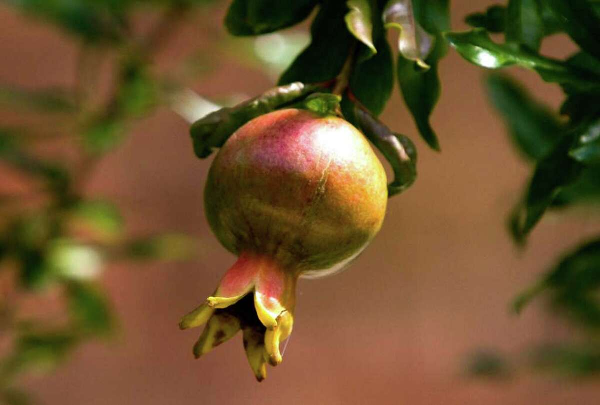Pomegranates are tasty, nutritious and not too difficult to grow.