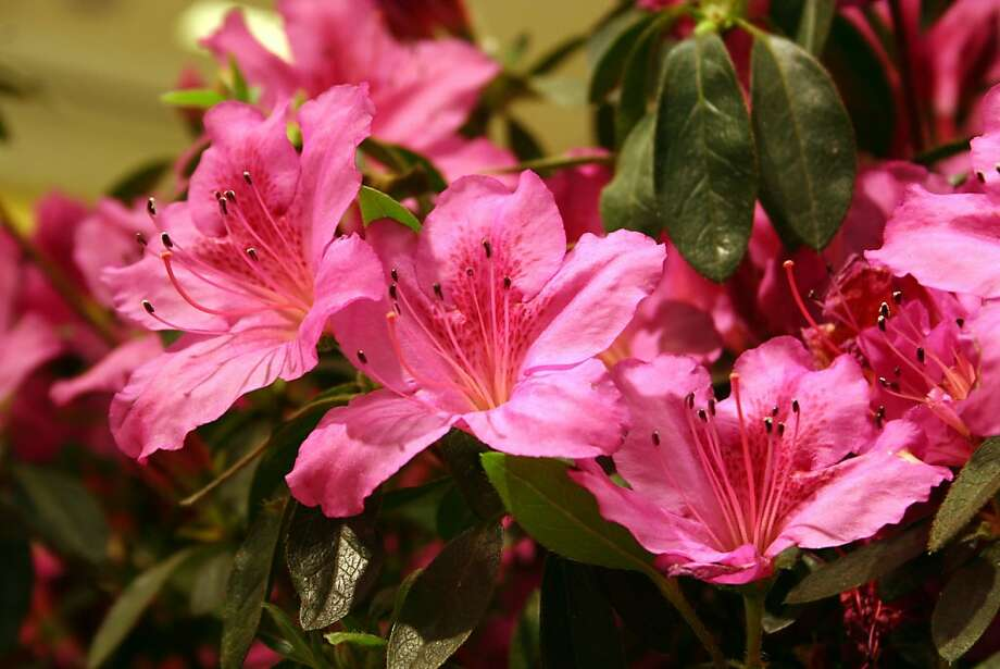 Azaleas prefer acid-type fertilizer after blooming Photo: The Chronicle, SFC