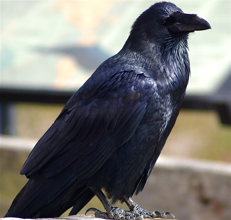 Sf Chronicle Classifieds: Why Ravens, Crows Are More Common Now In Bay Area