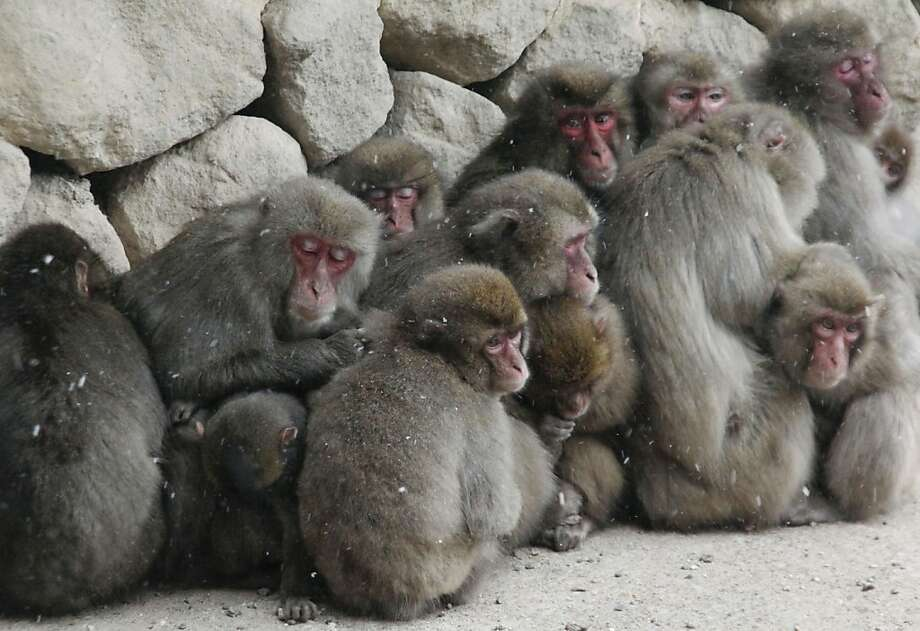 Well, we don't care if it rains or freezes, long as we have a dozen rhesus: Monkeys huddle against the cold during a snowstorm in Oita, Japan. Photo: Associated Press