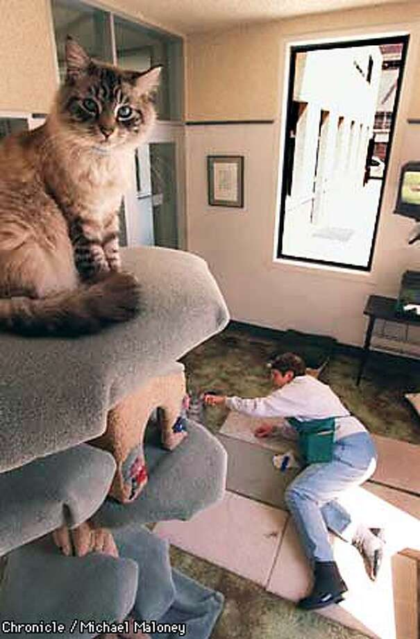 """""""Downey"""" prefers a high perch in his apartment as his partner """"Freeway"""" plays with volunteer Juanita Gonzalez. Both cats are available for adoption at the SF SPCA.  April 18th is the 130th anniversary of the SF SPCA.  Photo by Michael Maloney Photo: MICHAEL MALONEY"""