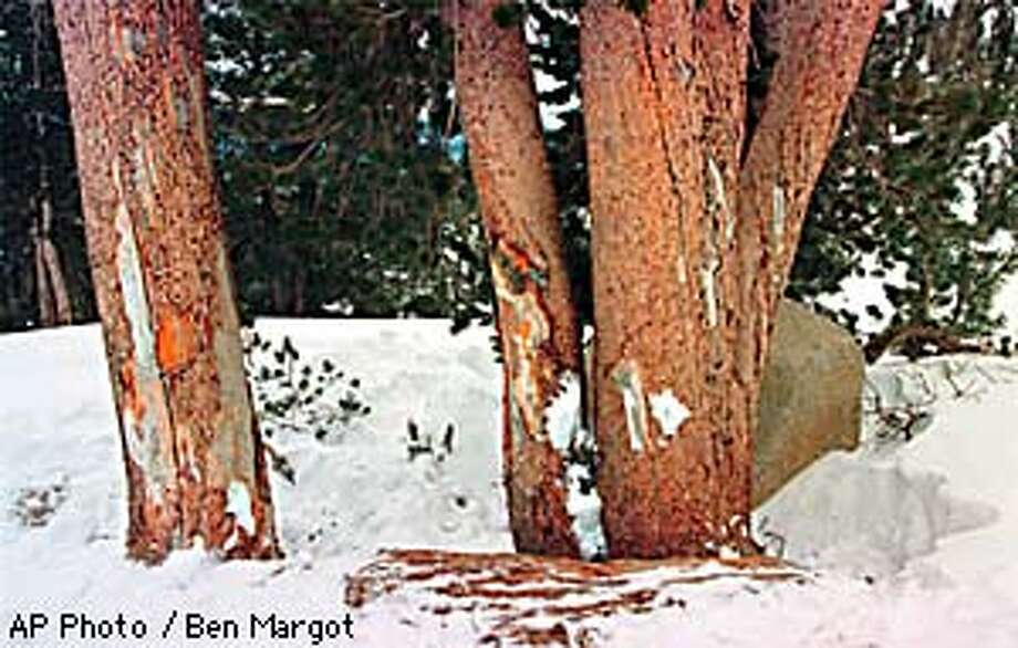 These Lodgepole Pines, seen Tuesday, Jan. 6, 1998, on the Upper Orion Run at Heavenly Ski Resort in South Lake Tahoe, Nev., are where Congressman Sonny Bono was killed Monday. The pine on the far left is the tree that claimed Bono's life. (AP Photo/Ben Margot) Photo: BEN MARGOT