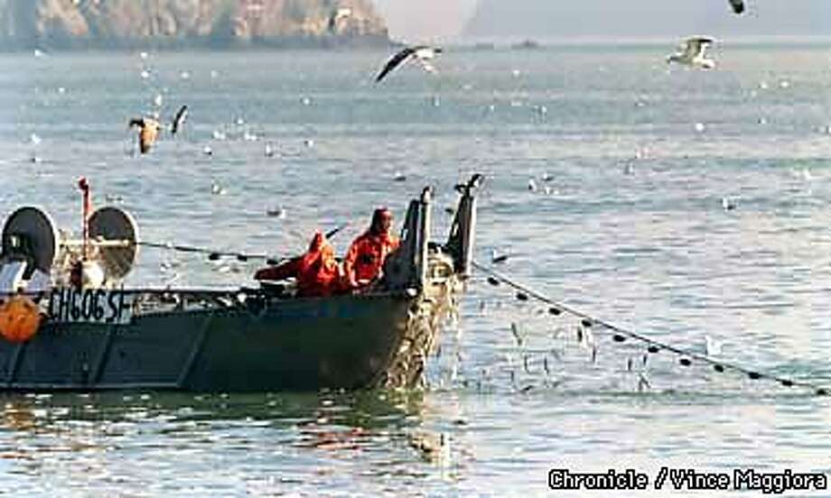 Fishermen on herring boats pulling their nets in with herring in SF BAY off of Sausalito . by Vince Maggiora Photo: VINCE MAGGIORA