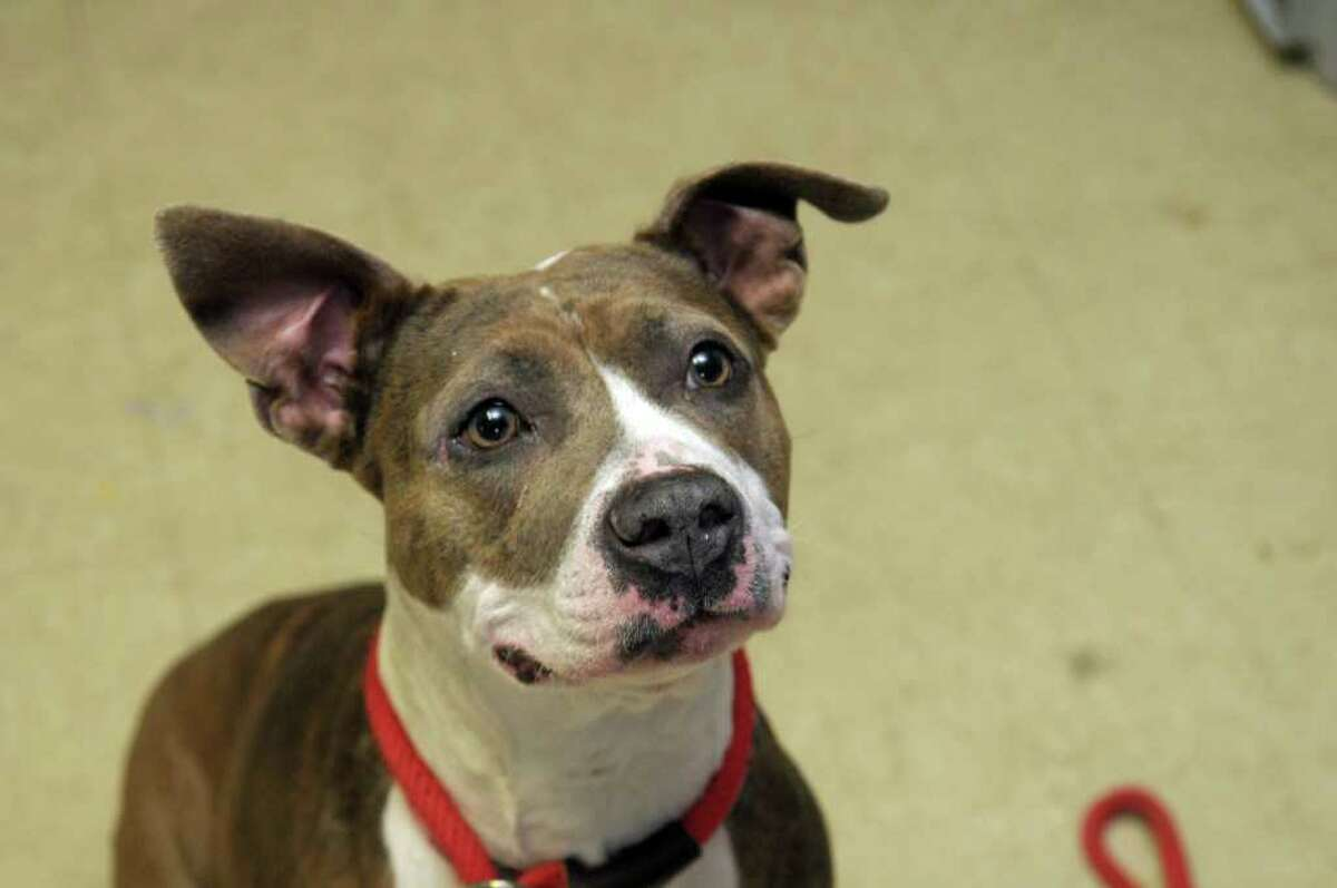 Kendra, a pit bull rescued from Schenectady, looks up at a treat at the Montgomery County SPCA on Tuesday, Jan. 24, 2012 in Amsterdam, NY. (Paul Buckowski / Times Union)