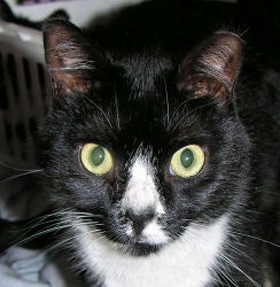 Mincy is a very entertaining young cat with cute black and white toes. (Mary Lou Baker)