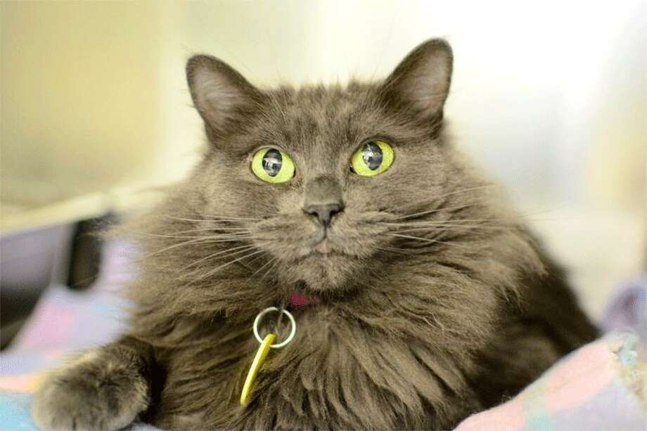 Mew, 8, may look like a mountain of fur, but she's a mellow lapcat who doesn't mind other cats and may enjoy a boy cat for company. Pets in this gallery are available for adoption through  PAWS, whose shelter is at 15305 44th Ave. W. in Lynnwood. Call 425-787-2500, ext. 850, for more info. Photo: Photo By Tiphanie Anderson/PAWS.