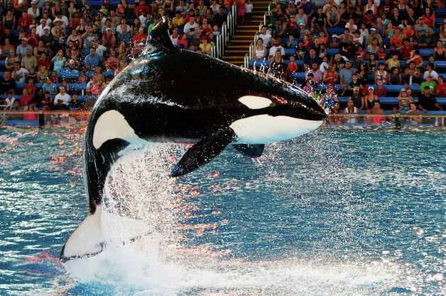 A killer whale leaps into the air during a show at SeaWorld San Antonio last year. SeaWorld is now open on weekends.
