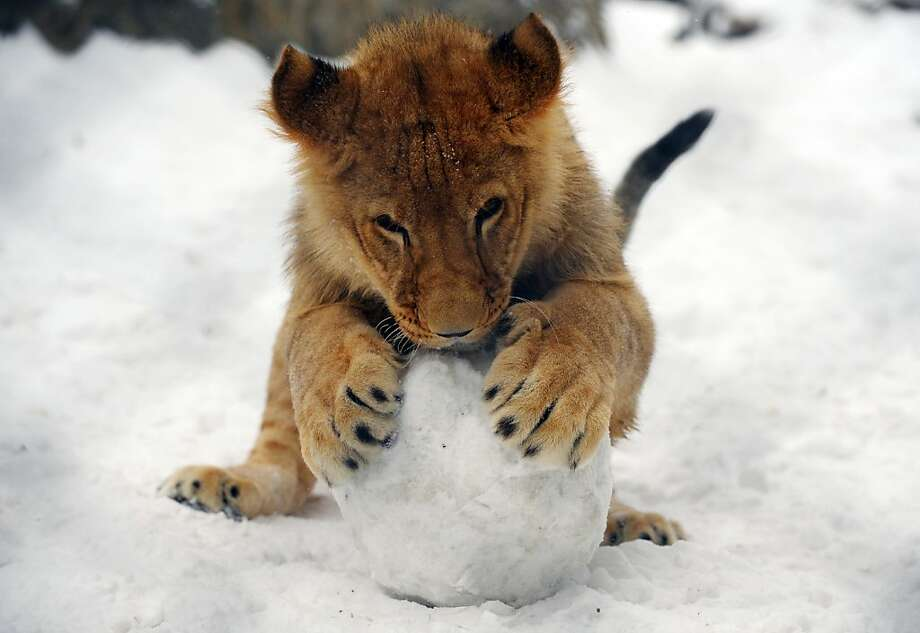 A lion cub plays with a snowball at the Belgrade Zoo on February 5, 2012. In Serbia, almost 70,000 people are still cut off from their villages and 32 municipalities have declared a state of emergency, mostly in the south and southwest of the country. So far, nine people have died of cold in the country. The snow, which stopped falling early today, is expected to start again overnight, with temperatures falling below minus 10 degrees Celsius.  AFP PHOTO / ALEXA STANKOVIC (Photo credit should read ALEXA STANKOVIC/AFP/Getty Images) Photo: Alexa Stankovic, AFP/Getty Images