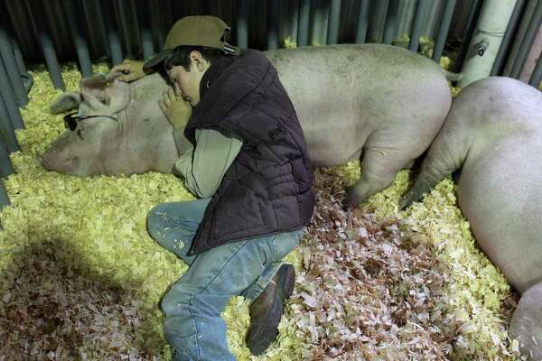 """Shane """"Bubba"""" Dennis Jr., 12, of Devine rests with his pig, a Landrace Gilt named Sweetie, on Wednesday, Feb. 8, 2012, the first day for swine arrivals at the stock show."""