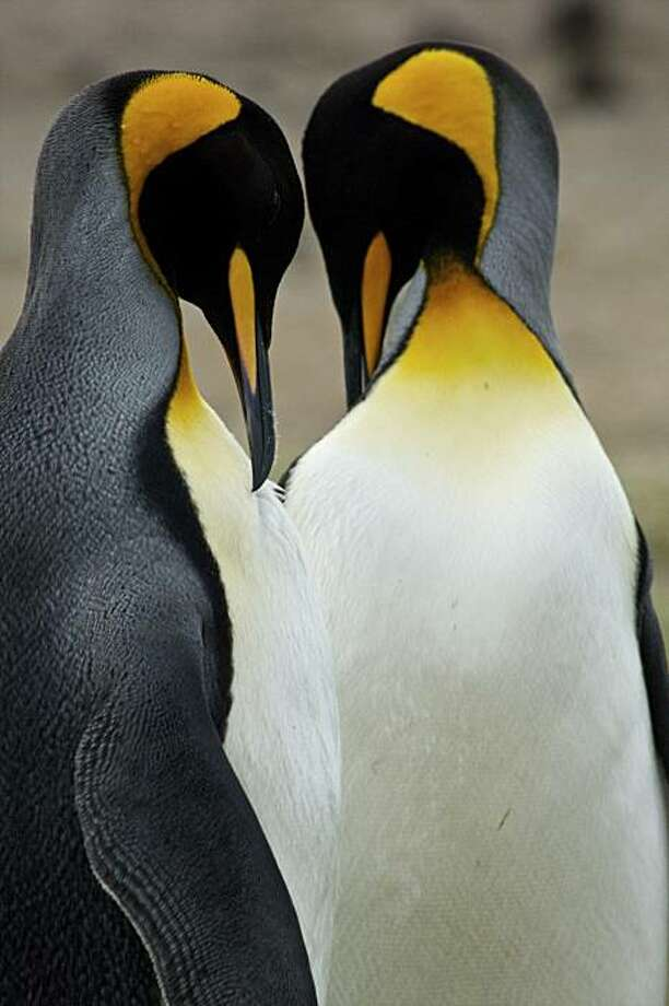 Two King penguins cleaning their feathers.  Falklands, King Penguin (Aptenodytes patagonicus) Photo: Jochem Wijnands, Getty Images