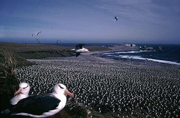Albatross colony, the Falklands. Photo: Falkland Islands Tourist Board