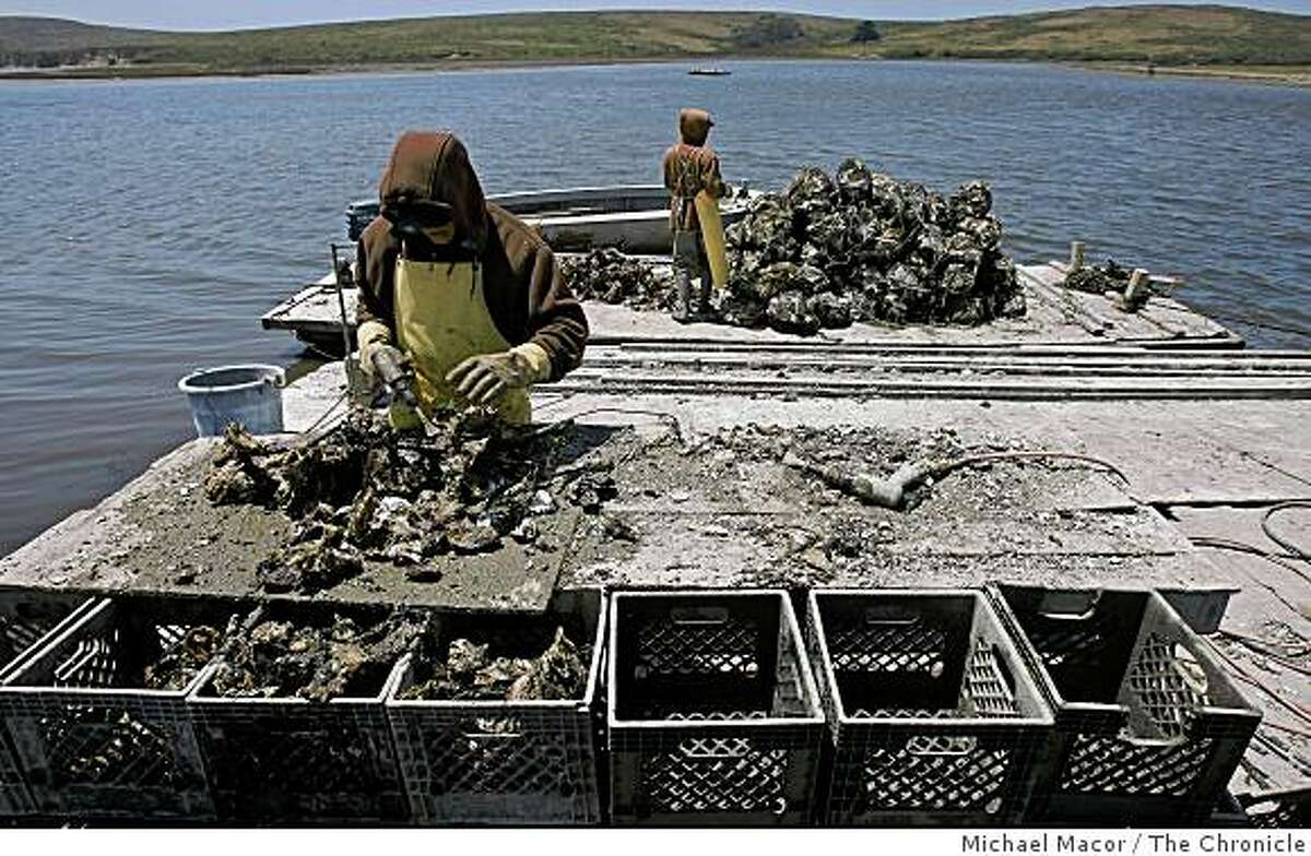 Ruben Robledo, left ,and Alex Chamacho processing loads of oysters after being harvested from Drake's Bay. Photo By Michael Macor/ The Chronicle 2009