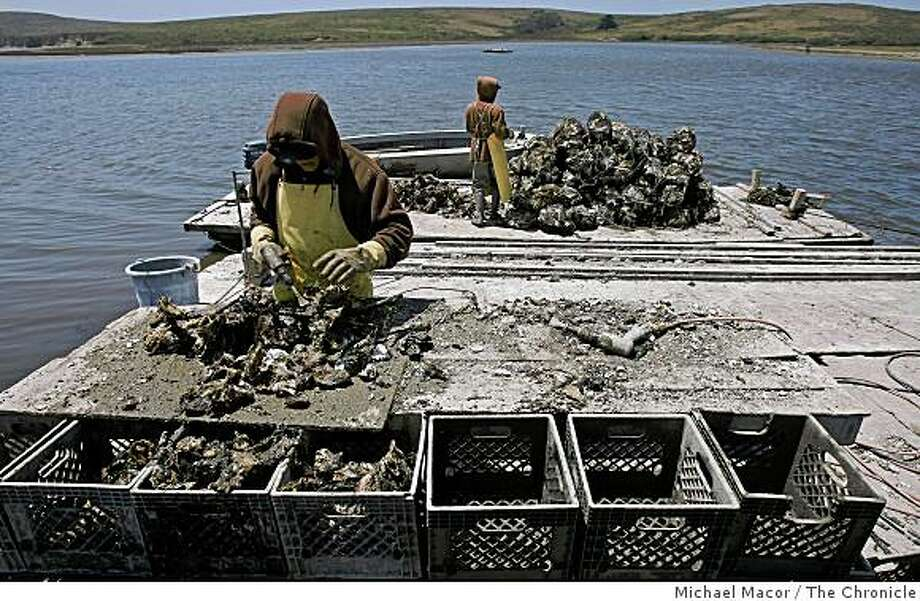 Ruben Robledo, left ,and Alex Chamacho processing  loads of oysters  after being harvested from Drake's Bay. Photo By Michael Macor/ The Chronicle 2009 Photo: Michael Macor, The Chronicle