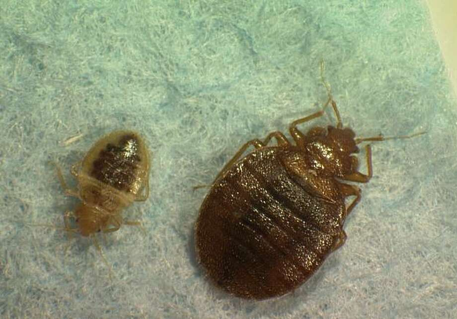 Heat treatment won't ward off return of bedbugs - SFGate
