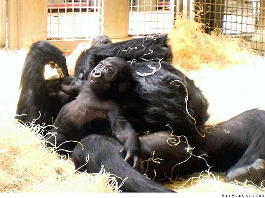 Hasani, the baby gorilla born at the San Francisco Zoo, with his surrogate mom, Bawang. Photo: San Francisco Zoo