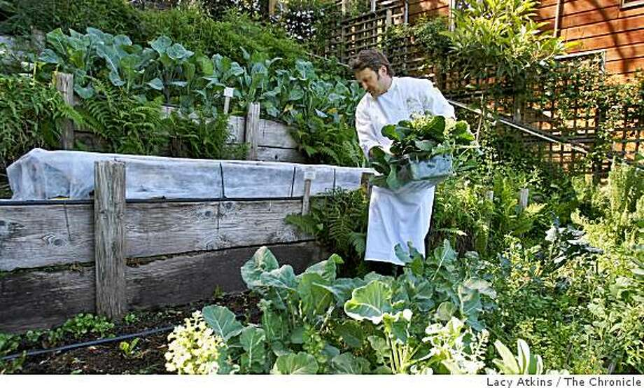 Executive chef Peter McNee harvests vegetables from a garden care for by Poggio and is used for the restuarants dishes, Wed. April 15, 2009, at Poggio in Sausalito, Calif. Photo: Lacy Atkins, The Chronicle