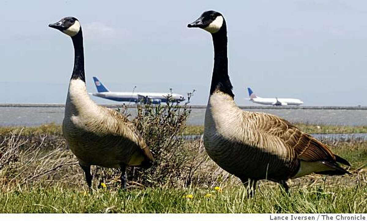 A pair of Canada Geese grazes on the Bay Trail in Millbrae as planes taxi out to runways at SFO. The FAA, for the first time, has released a comprehensive database showing the number of bird strikes at airports.