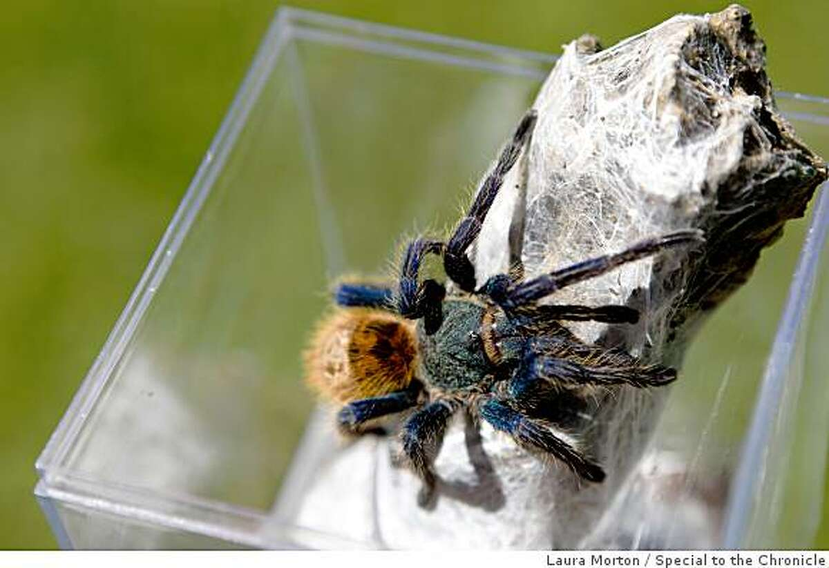 A colorful Greenbottle Blue tarantula belonging to a member of the San Francisco Bay Area Tarantula Society in Concord, Calif., on Saturday, April 18, 2009.