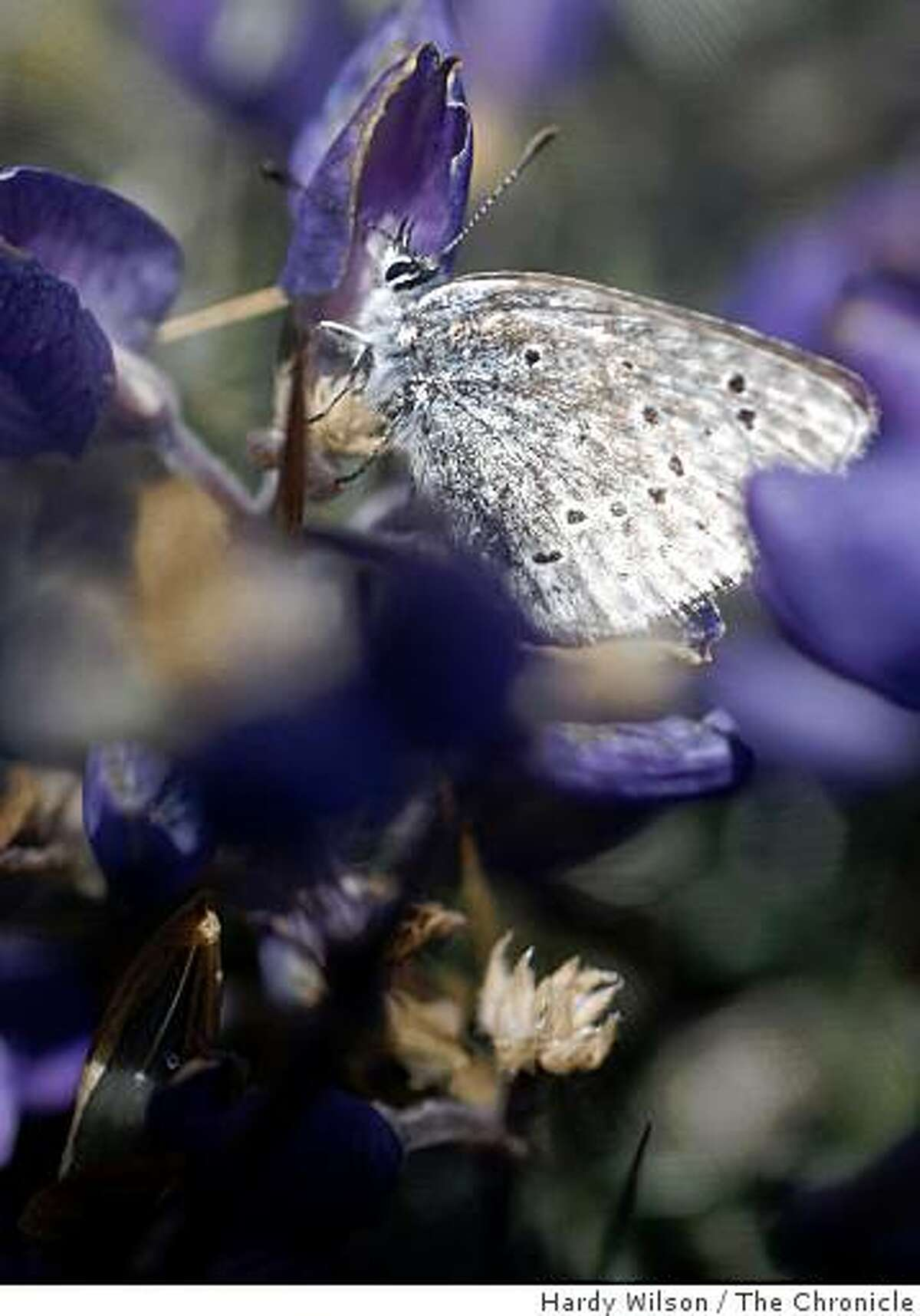 A Mission blue butterfly rests on a silver lupine flower on Twin Peaks in San Francisco, Calif., on Thursday, April 16, 2009. Members of San Francisco's Recreation and Park Department along with the U.S. Fish and Wildlife Service are trying to reintroduce the butterfly, an endangered species, back to the area.