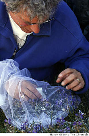 Biologist Stu Weiss releases a Mission blue butterfly into a net filled with silver lupine flowers on Twin Peaks in San Francisco, Calif., on Thursday, April 16, 2009. Members of San Francisco's Recreation and Park Department along with the U.S. Fish and Wildlife Service are trying to reintroduce the butterfly, an endangered species, back to the area. Photo: Hardy Wilson, The Chronicle