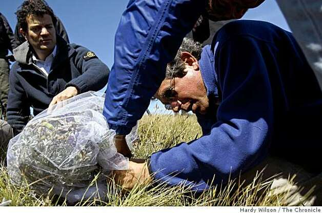 Biologist Stu Weiss, center, wraps silver lupine flowers with netting before putting a Mission blue butterfly in it on Twin Peaks in San Francisco, Calif., on Thursday, April 16, 2009. Members of San Francisco's Recreation and Park Department along with the U.S. Fish and Wildlife Service are trying to reintroduce the butterfly, an endangered species, back to the area. Photo: Hardy Wilson, The Chronicle