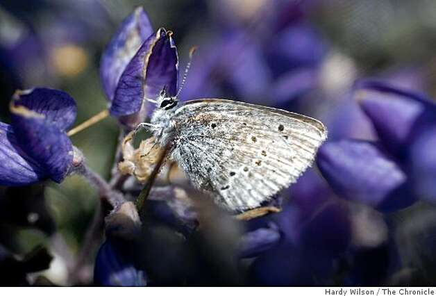 A Mission blue butterfly rests on a silver lupine flower on Twin Peaks in San Francisco, Calif., on Thursday, April 16, 2009. Members of San Francisco's Recreation and Park Department along with the U.S. Fish and Wildlife Service are trying to reintroduce the butterfly, an endangered species, back to the area. Photo: Hardy Wilson, The Chronicle
