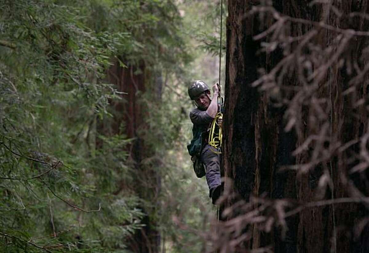 Steve Sillett a professor at Humboldt State University climbs a redwood to measure the circumference of the tree,Thursday Nov. 18, 2010, in the Montgomery Woods State Natural Reserve in Ukiah, Calif.