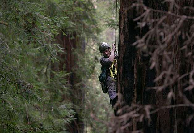 Steve Sillett a professor at Humboldt  State University climbs a redwood to measure the circumference of the tree,Thursday Nov. 18, 2010, in the Montgomery Woods State Natural Reserve in Ukiah, Calif. Photo: Lacy Atkins, The Chronicle