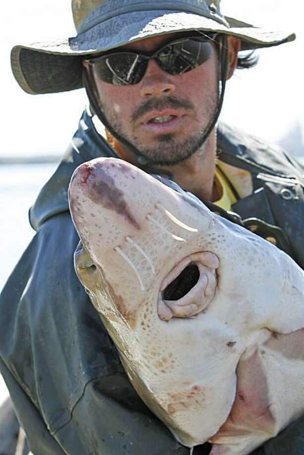 In this Oct. 8, 2010 photo, Virginia Commonwealth University graduate student Matt Balazik holds an Atlantic sturgeon that he caught in the James River near  Charles City, Va. Balazik is a sturgeon census taker, using electronic tracking devices to monitor the movements of the armor-plated fish. Photo: Steve Helber, AP