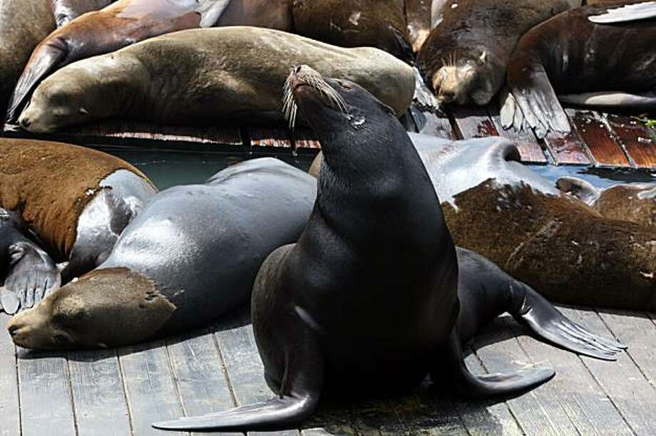 Sea lions at Pier 39 in San Francisco, Calif., on Wednesday, April 8, 2009. Photo: Liz Hafalia, The Chronicle