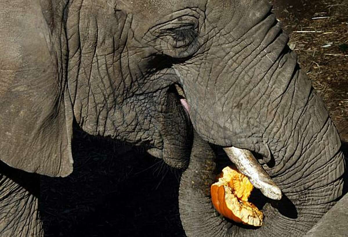Dona a thirty year old elephant at the Oakland Zoo delighted hundreds visitors Thursday Nov. 11, 2010 as she and her fellow roommates at the exhibit were treated to a special meal of leftover donated pumpkins from Halloween.