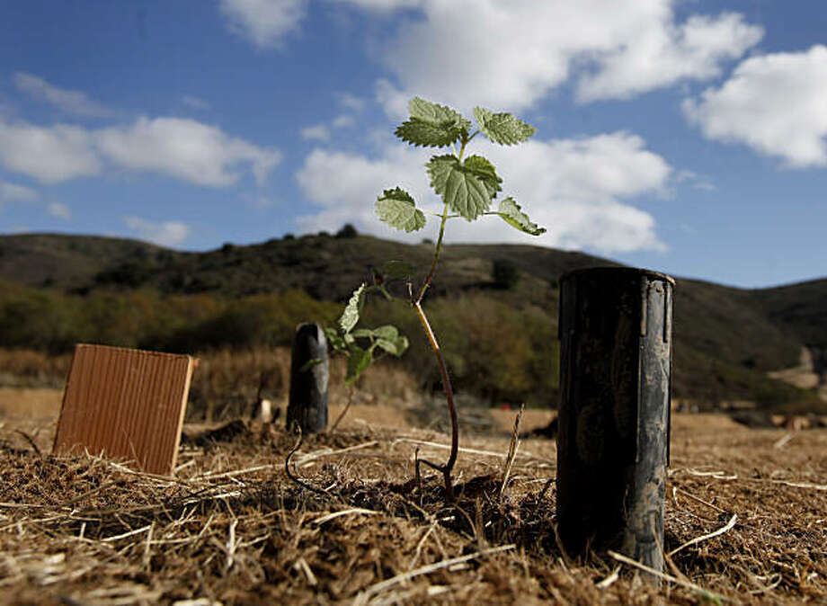 A baby red alder tree is one of many species being planted on high areas of the area where the Redwood Creek will run to provide shade and habitat Wednesday November 10, 2010. An ambitious plan to restore Redwood Creek at Muir Beach in Marin County, Calif. could recreate the conditions that once made the waterway through Muir Woods a big run for coho salmon and steelhead trout. Photo: Brant Ward, The Chronicle