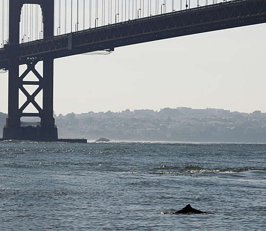 A harbor porpoise surfaces near the Golden Gate Bridge in Sausalito, Calif., on Wednesday, Nov. 3, 2010. Marine biologists are taking a close look at the cetaceans, which haven't been seen inside the bay in many years. Photo: Paul Chinn, The Chronicle