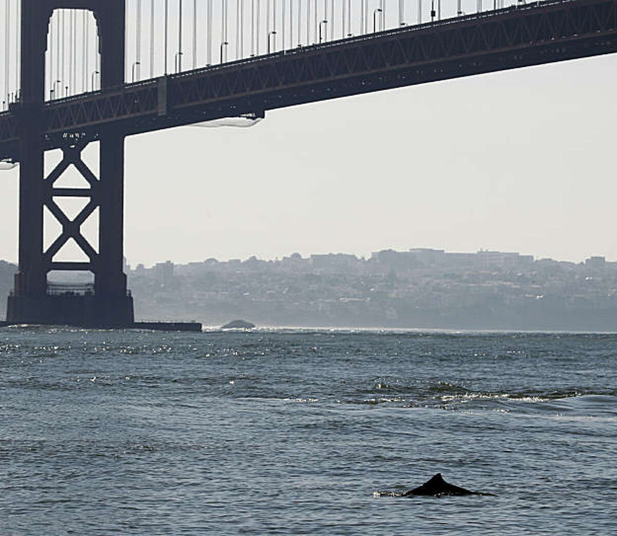 A harbor porpoise surfaces near the Golden Gate Bridge in Sausalito, Calif., on Wednesday, Nov. 3, 2010. Marine biologists are taking a close look at the cetaceans, which haven't been seen inside the bay in many years.