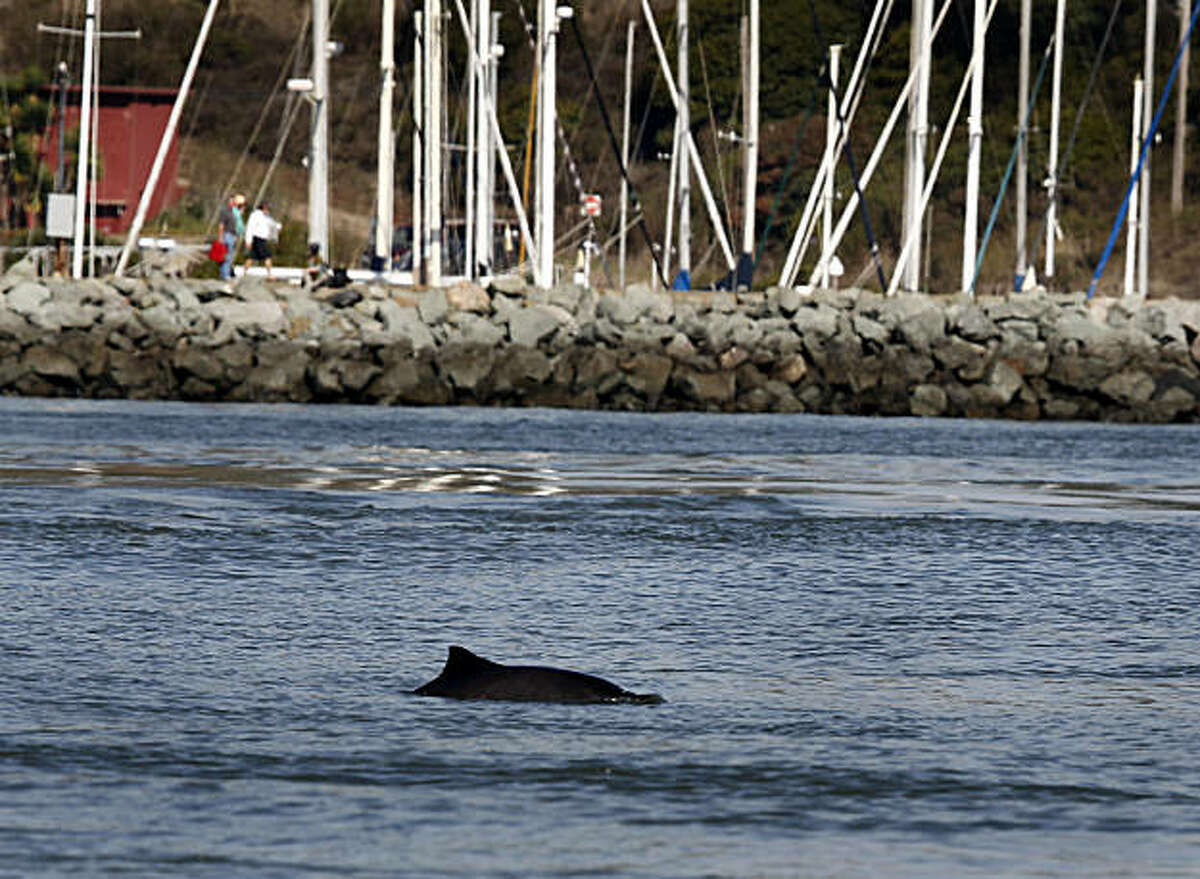 A harbor porpoise surfaces for air near Horseshoe Cove and Fort Baker in Sausalito, Calif., on Wednesday, Nov. 3, 2010. Marine biologists are taking a close look at the cetaceans, which haven't been seen inside the Golden Gate in many years.