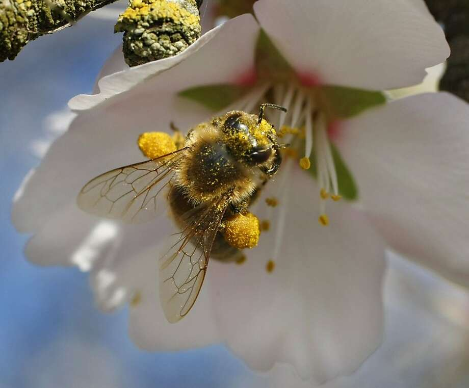 "A special breed of honeybee from Arizona gathers pollen from an almond blossom in a Dixon, Calif. orchard on March 3, 2008. The two orange colored ""pollen baskets"" or corbicula are visible on it's legs. Researchers at UC Davis are experimenting with various breeds of bees hoping to find one that can resist the diseases and parasites that are affecting bees throughout the country, a huge threat to agriculture. Bees are needed to pollinate many of California's crops, including the almond trees now in full bloom.  Photo by Michael Maloney / San Francisco Chronicle Photo: Michael Maloney, The Chronicle"