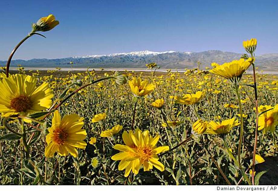 Wild flowers bloom on the edge of the Badwater Basin, the lowest elevation in the United States, 282 ft (86m) below sea level, with the Panamit Range in the background at Death Valley National Park, Calif., on Thursday, March 10, 2005. Photo: Damian Dovarganes, AP