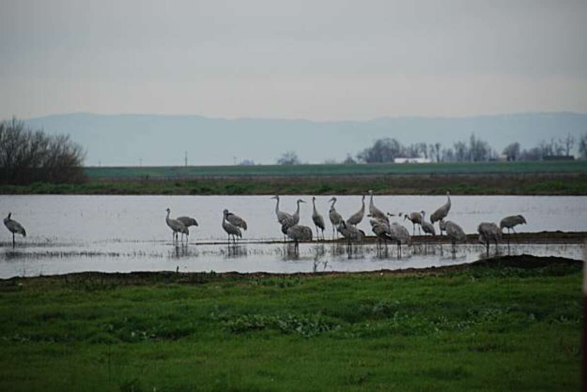 Flocks of people come to see the sandhill cranes in Lodi.
