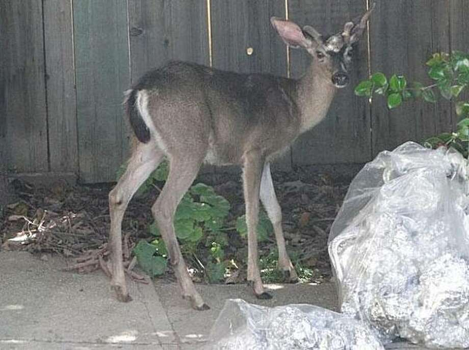 Residents of an East Oakland neighborhood were upset Monday evening, accusing police of using excessive force against a small male deer. Photo: Courtesy Of KTVU