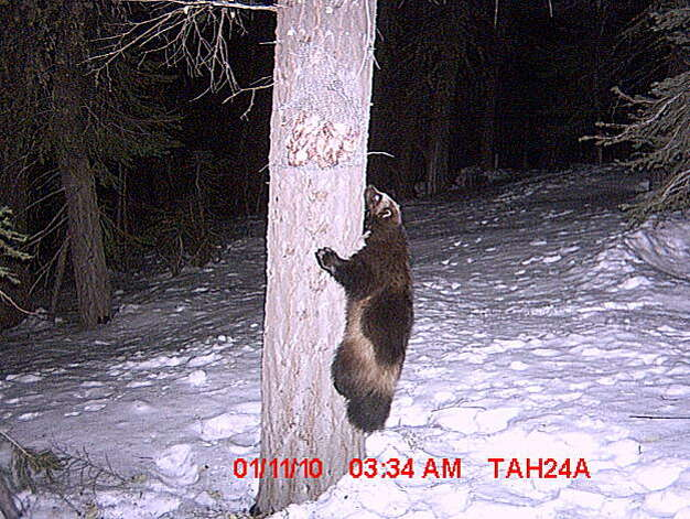 A wolverine caught on motion-sensitive cameras in early January 2010, northwest of Truckee, Calif. This sighting follows wolverine sightings that occurred in 2008 and 2009 in the same general area.  Markings on the furbearer indicate that this is likely to be the same animal. Photo: Sierra Pacific Industries