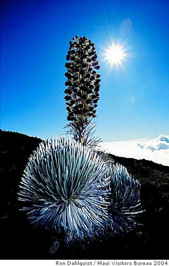 A silverwood plant at Haleakala volcano on a sunnier day. Photo: Ron Dahlquist, Maui Visitors Bureau 2004