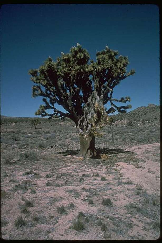 Joshua tree at Joshua Tree National Park. Photo: National Park Service