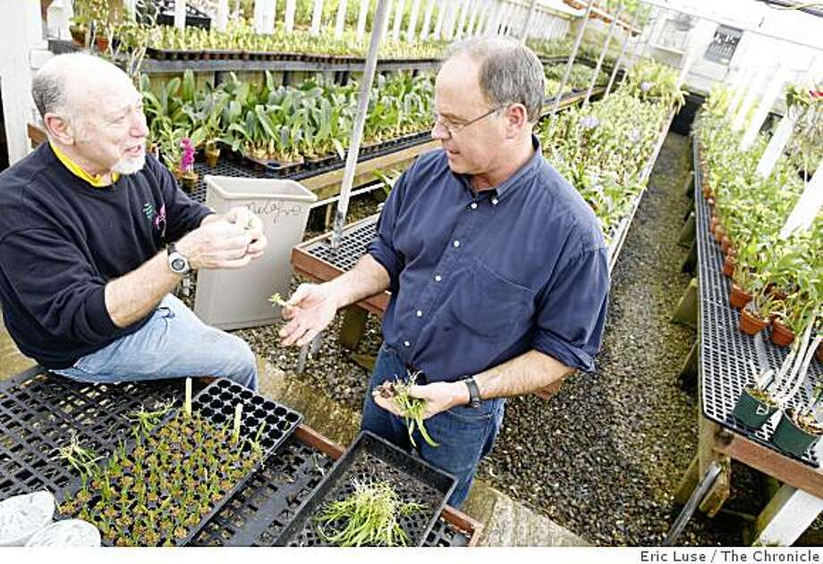 Dennis Westler, orchid expert  and Tom Perlite of Golden Gate Orchids with Odonloglossum seedling plugs being potted (which in 3 years will become blooming orchids). Photo: Eric Luse, The Chronicle