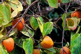 Ripe 'Hachya' persimmon fruits hang on a mature tree just as the leaves begin to show their yellow fall color.