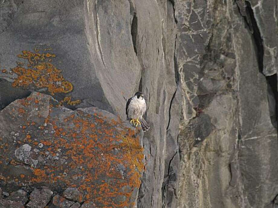 In this 2006 photo provided by The Peregrine Fund, a Peregrine falcon is seen perched atop a cliff in Greenland. Researchers from The Peregrine Fund are examining the birds as they migrate through southern Texas for any potentially harmful effects from BP's April 20 oil spill in the Gulf of Mexico. Photo: The Peregrine Fund, AP