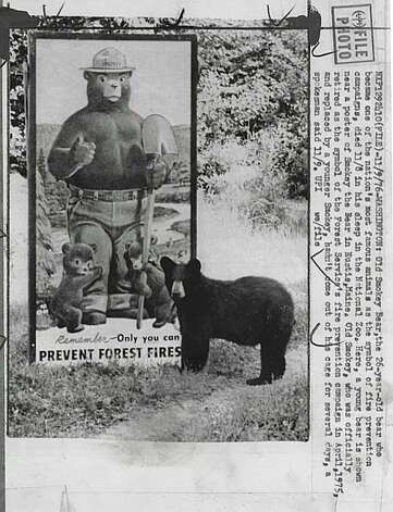 Smokey the Bear.  Photo taken November 10, 1976. Old Smokey Bear, the 26 year old bear who became one of the nation's most famous animals as the symbol of fire prevention campaigns, died 11/8 in his sleep in the National Zoo. Here, a young bear is shown near a poster of Smokey the Bear in Eustis, Maine. Old Smokey, who was officially retired as the symbol of the Forest Service's fire prevention campaign in April, 1975 and replaced by a younger Smokey, hadn't come out of his cage for several days, a spokesman said 11/9.  Photo taken November 9, 1976. Photo: Upi, UPI