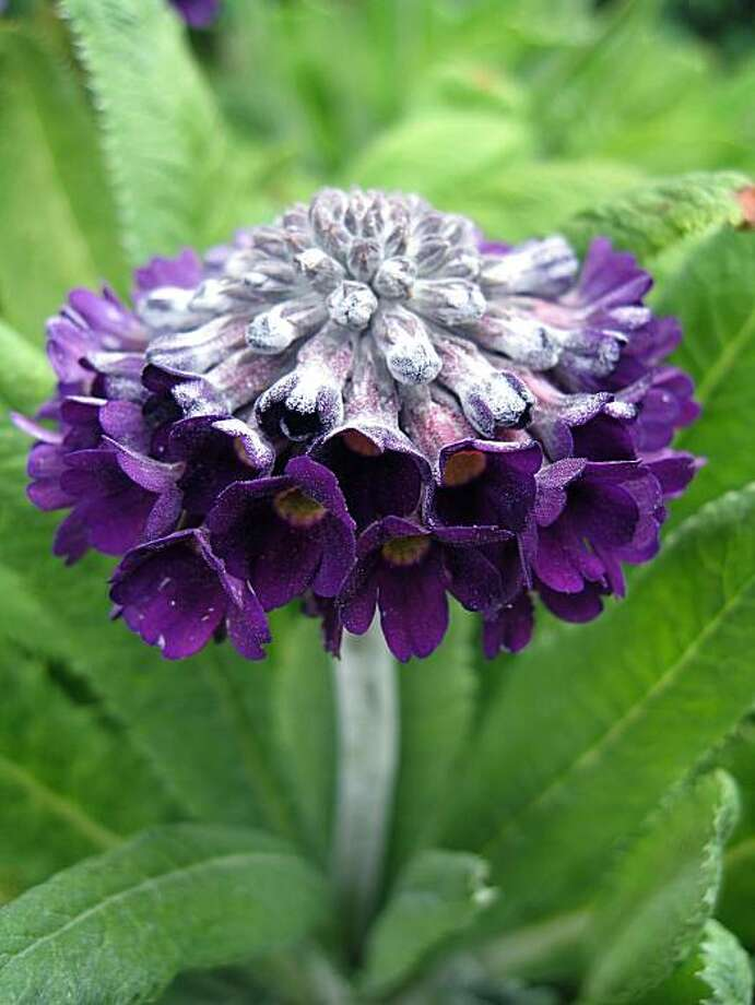 Primula capitata 'Mooreana' Photo: Annie's Annuals And Perennials