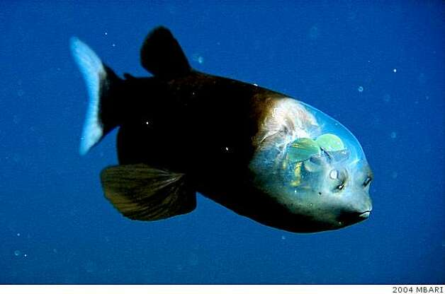 The barreleye (Macropinna microstoma) has extremely light-sensitive eyes that can rotate within a transparent, fluid-filled shield on its head. The bright green eyes point upward (as shown here) when the fish is looking for food overhead. They point forward when the fish is feeding. The two spots above the fish's mouth are olfactory organs called nares, which are analogous to human nostrils. Photo: 2004 MBARI