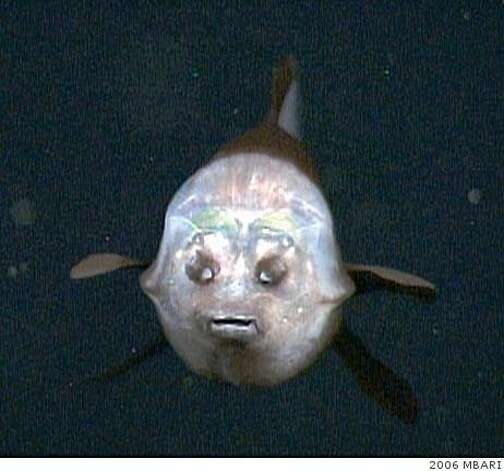 This face-on view of a barreleye shows its transparent shield lit up by the lights of MBARI's remotely operated vehicle Tiburon. As in the other photos, the two spots above the fish's mouth are are olfactory organs called nares, which are analogous to human nostrils. Photo: 2006 MBARI