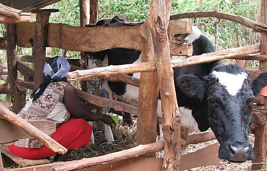 Cow: Lydia Ndung'u, a Kenyan farmer, milks a cow that she obtained through micro-asset loan program with ties to San Francisco-based Kiva. Photo: Rob Selna, San Francisco Chronicle